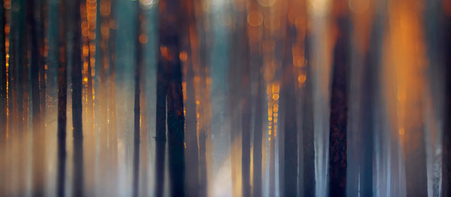 """Specially Commended. As the snow started to melt, a thick fog began to wrap itself around the forest near Sandra Bartocha's home in Potsdam, Germany. Envisaging the photographic potential, she grabbed her camera and went straight to the forest. The scene was even more beautiful than she'd expected. """"The evening sun created a glow around the tall, wet trunks of the Scots pines"""", she remembers. (Photo by Sandra Bartocha/Veolia Environnement Wildlife Photographer)"""