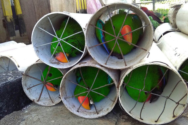 This undated handout picture released by the Wildlife Conservation Society (WCS) on November 16, 2017 shows eclectus parrots stuffed inside drainage pipes following a raid in Labuha, North Maluku. Smugglers who allegedly stuffed 125 exotic birds into drain pipes have been arrested in Indonesia, officials said on November 16, as part of a bid to clamp down on a lucrative illegal trade in wildlife. (Photo by AFP Photo/Wildlife Conservation Society)