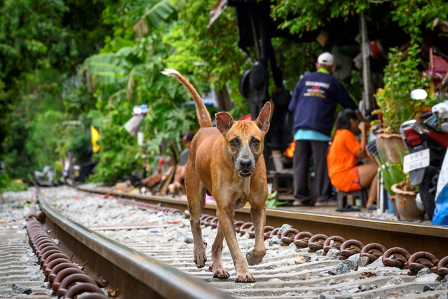 A stray dog runs past a slum along railroad tracks in downtown Bangkok on June 15, 2020. (Photo by Mladen Antonov/AFP Photo)