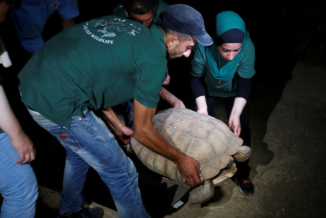 A member of Al Ma'wa for Nature and Wildlife Foundation move a tortoise which was taken out of Gaza by Four Paws International, after it arrived in Amman, Jordan, August 24, 2016. The last survivors of a Gaza zoo, where dozens of animals died of starvation and children petted stuffed carcasses, left on Wednesday for sanctuary outside the Palestinian territory. (Photo by Muhammad Hamed/Reuters)