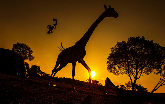 A handout picture made available by Global Newsroom on 10 September 2015 shows French rider Remi Bizouard (back) silhouetted against the sky during a warming up session in the wide-open savanna as a giraffe is seen in the foreground, at the Glen Afric Country Lodge prior to the fourth stage of the Red Bull X-Fighters World Tour in Pretoria, South Africa, 09 September 2015. (Photo by Joerg Mitter/EPA)
