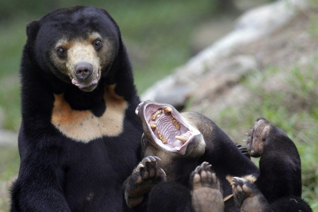 Two sun bears play inside an enclosure at the Vietnam Bear Rescue Centre, which is operated by international organization Animals Asia, in Tam Dao national park, about 70 kms from Hanoi, Vietnam, 05 November 2014. (Photo by Luong Thai Linh/EPA)