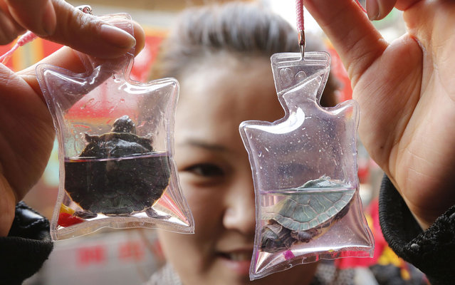 Woman displays small turtles in plastic bags, for sale in a shop in Beijing, China, March 7, 2013. According to the vendor, each bag, filled with oxygen and nutritional liquid, can keep the animal it holds alive for two months and is sold for 10 RMB ($1.6). The Chinese believe such charms can bring good luck. (Photo by Kim Kyung-Hoon/Reuters)