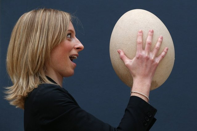 "An employee at Christie's auction house examines a complete sub-fossilised elephant bird egg on March 27, 2013 in London, England. The elephant bird egg is expected to fetch 30,000 GBP when it features in Christie's ""Travel, Science and Natural History"" sale, which is to be held on April 24, 2013 in London.  (Photo by Oli Scarff)"