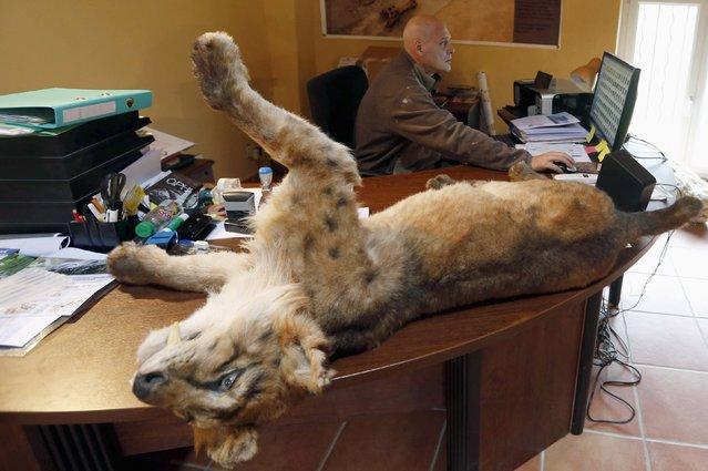 Belgian animal sculptor Emmanuel Janssens Casteels works at his desk next to a replica of a Smilodon, an extinct genus of machairodont felid, in his workshop in Prayssas December 3, 2014. (Photo by Regis Duvignau/Reuters)