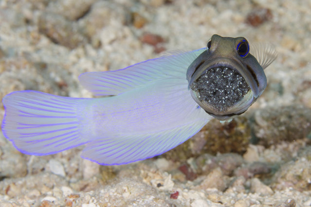 A male yellowhead jawfish protects the fertilized eggs of its mate by holding them in his mouth until they hatch. The scene of this so-called Mr. Mom was captured over a shallow sandy bottom off the island of Cozumel, Mexico. (Photo by Marty Snyderman/Caters News Agency)