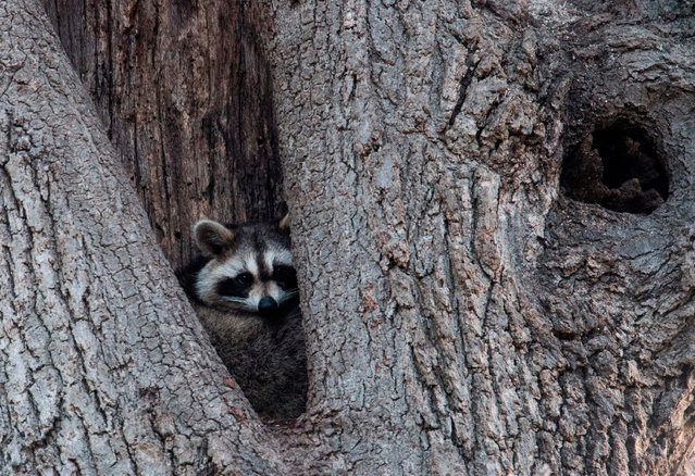 A raccoon rests in the hollow of a tree March 16, 2018 near Orchard Beach in New York. From coyotes in the Bronx to red foxes in Queens, raccoons in Manhattan, owls in Brooklyn and deer in Staten Island, wildlife roams the urban jungle of New York. But coexistence is not always easy between millions of wild animals and 8.5 million humans. (Photo by Don Emmert/AFP Photo)