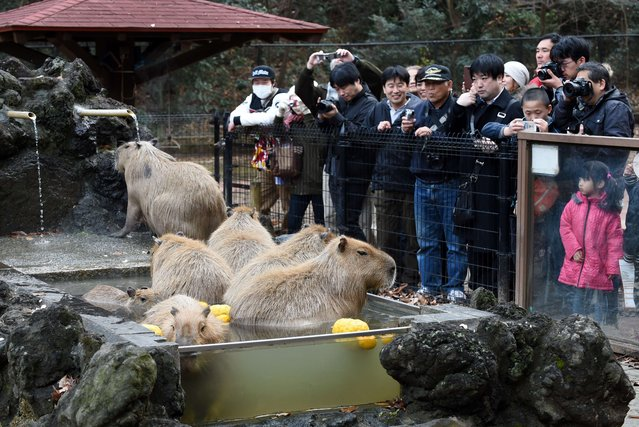 Visitors watch capybaras bathing in the hot spring water at the Saitama Children's zoo in Higashi Matsuyama city, Saitama prefecture on December 21, 2014. (Photo by Toshifumi Kitamura/AFP Photo)