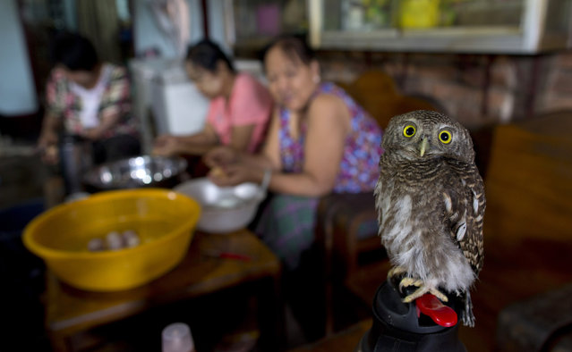 A domesticated pet baby owl rests on a hot water bottle in a Yangon restaurant as workers prepare food in the background, Myanmar, Friday, June 14, 2013. (Photo by Gemunu Amarasinghe/AP Photo)