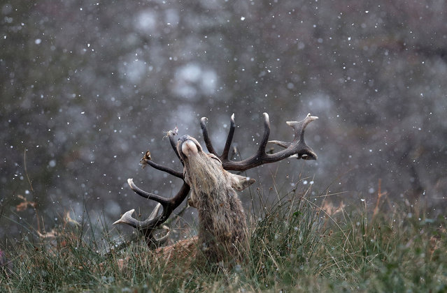 A stag is seen in the snow in Richmond Park on February 09, 2021 in London, England. A Met Office Weather Warning remains in place for many parts of the UK. (Photo by Chris Jackson/Getty Images)