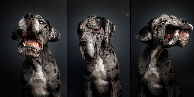 """A great dane. The snapper then uploads the funny shots to his social media platforms, under """"Fotos Frie Schnauze"""". (Photo by Christian Vieler/Caters News)"""