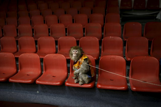 A trained monkey wearing a Korean traditional costumes waits to be photographed with kindergarten students after a performance at Monkey School, in conjunction with Chinese Lunar New Year celebrations in Goyang, South Korea, January 22, 2016. (Photo by Kim Hong-Ji/Reuters)