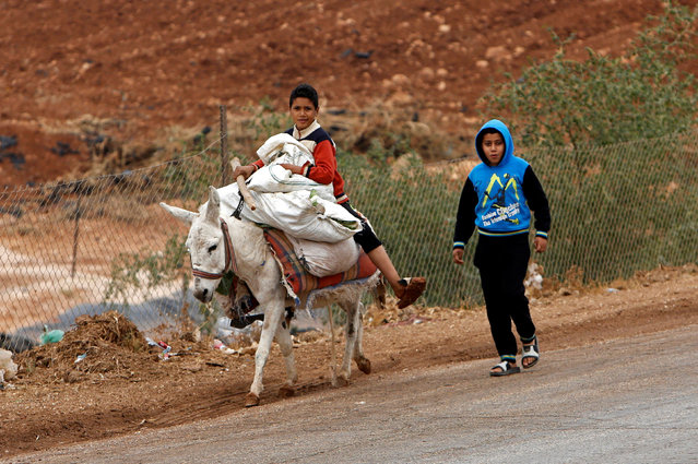 A Palestinian boy rides a donkey carrying bags of cabbage after working in a field in the West Bank village of Nassariya near Nablus November 30, 2016. (Photo by Abed Omar Qusini/Reuters)