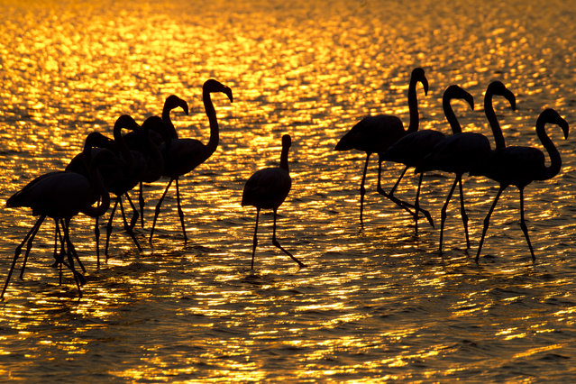 Flamingos search for food in a pond near Gan Shmuel, Israel, Thursday, November 8, 2018. Israel is a popular stopping-point on the migration routes for more than 400 species of birds on the way to Africa and back to Europe during the year. (Photo by Ariel Schalit/AP Photo)