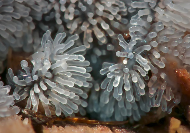 These may look like alien creatures from another planet, but the odd organisms are, in fact, colorful, microscopic life forms found in our forests. The bizarre slime molds, known as mycetozoa or fungus animals, were captured by geologist Valeriya Zvereva. (Photo by Valeriya Zvereva/Caters News)