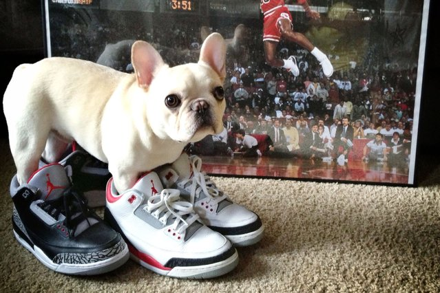 Sir Charles Barkley tries on some new sneakers. (Photo by Caters News)