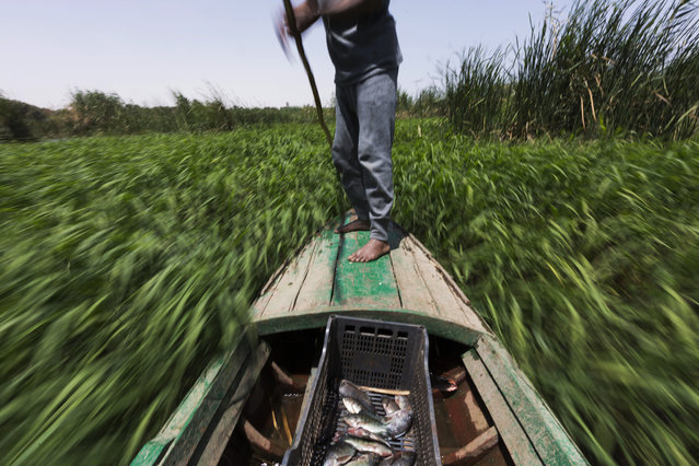 In this April 12, 2015 photo, Sayed Ahmed Abdoh poles his boat to check his fish traps in the Nile River, near Abu al-Nasr village, about 770 kilometers (480 miles) south of Cairo, Egypt. Abdoh caught some 20 fish this day and gave them to his friend, Salama Osman, a migrant worker in a Cairo apartment building, to celebrate his biannual return to their village. (Photo by Hiro Komae/AP Photo)
