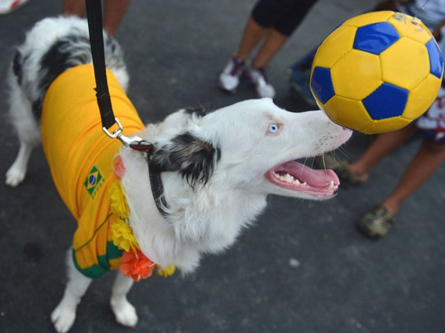 "A dog, which wears Brazil's national t-shirt juggles a ball at the animals' carnival parade ""Blocao"", at Copacabana in Rio de Janeiro. (Photo by Christophe Simon/AFP Photo)"