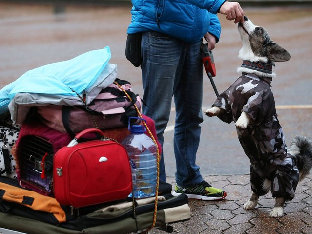 A dog gets a treat as his owner arrives to attend the first day of Crufts dog show at the NEC in Birmingham.(Photo by Matt Cardy/Getty Images)