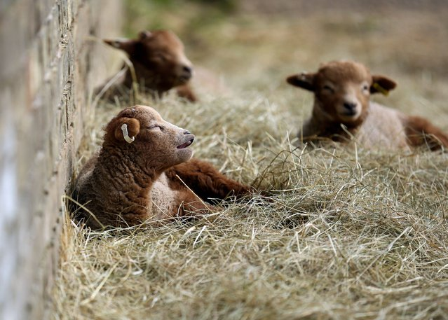 Rare breed newborn Portland lambs soak up the early spring sunshine at  Wimpole Hall farm in Cambridgeshire, on March 6, 2014. (Photo by Chris Radburn/PA Wire)