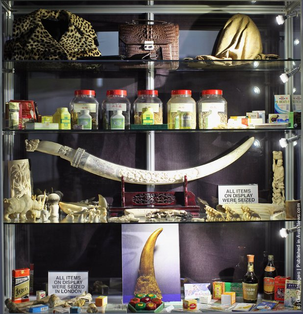 A cabinet displaying various items including carved Rhino, Walrus, and Elephant Ivory
