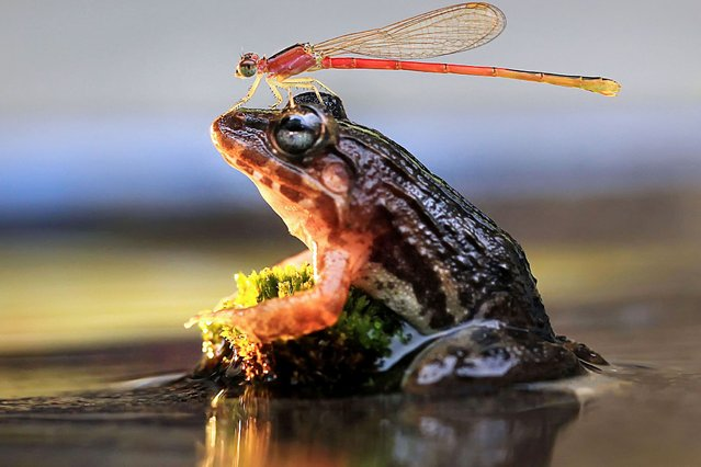 A cheeky dragonfly lands on the head of a unsuspecting frog. The odd couple were spotted by amateur photographer Adhi Prayoga, in a small river running past his garden in Indonesia. (Photo by Adhi Prayoga/Caters News)