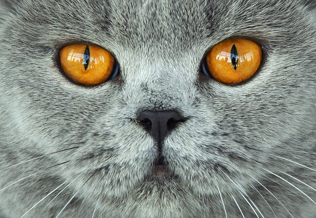 A British Shorthair cat waits during the jury session at the International pedigree dog and purebred cat exhibition in Erfurt, Germany, Sunday, June 2, 2019. More than 3,600 dogs and around 160 cats with their owners and 49 breed judges from 15 different countries take part at the exhibition and the competitions during this weekend. (Photo by Jens Meyer/AP Photo)