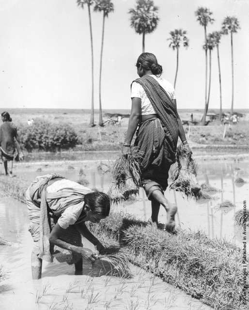1960: Women at work transplanting seedlings in a rice field on the Malabar Coast in the south-west of India