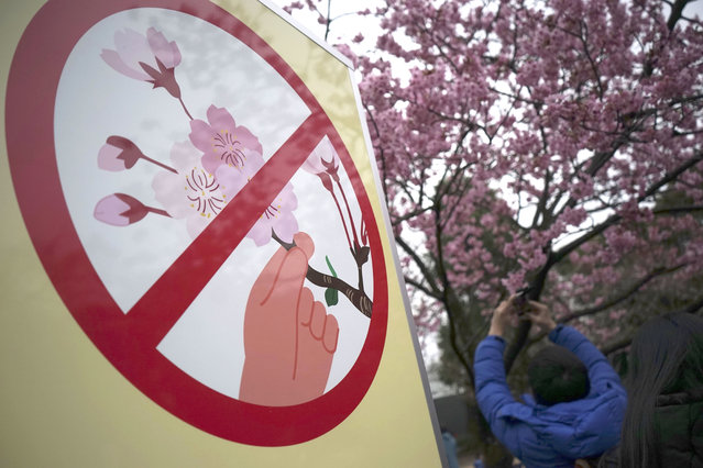 """A visitor takes a picture of blooming cherry blossoms next to a """"Hands off blooming cherry"""" sign at Ueno Park in Tokyo, Friday, March 31, 2017. (Photo by Eugene Hoshiko/AP Photo)"""
