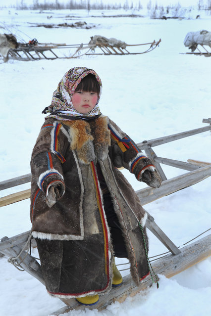 """Staying warm in Yamal"". A young Nenet girl waits for the reindeer herders to finish their task before setting off on the northward migration to new pastures. Photo location: Yamal, Siberia. (Photo and caption by Gordon Esler/National Geographic Photo Contest)"