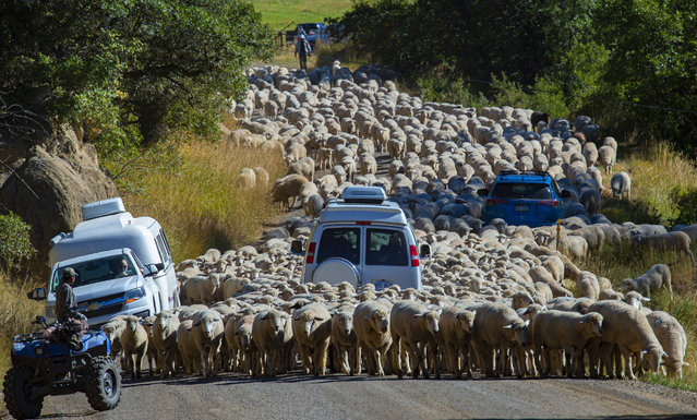 "Sheep herders create a ""lamb jam"" on a warm fall day as they move their flock down Gunnison County Road 12 below Kebler Pass toward Paonia, Colo., Wednesday, September 25, 2019. (Photo by Christian Murdock/The Gazette via AP Photo)"