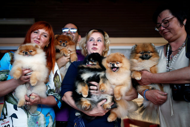 People hold their Pomeranian dogs as they pose for a picture during an international dog exhibition in Kannot, central Israel May 21, 2016. Some 850 purebred dogs from about 200 mini breeds participated in the exhibition. (Photo by Amir Cohen/Reuters)