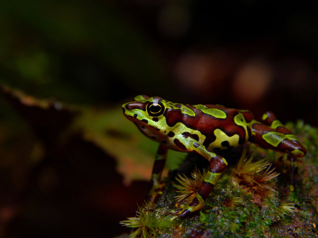 Up Close and Personal category student winner: Harlequin by Khristian V. Valencia (University of Antioquia), taken in San Cipriano nature reserve, Colombia. A harlequin frog exhibits one of its less common morphs in the shade of the leaves. In a time of global environmental crisis, harlequin frogs face imminent extinction. (Photo by Khristian V. Valencia/2019 British Ecological Society Photography Competition)