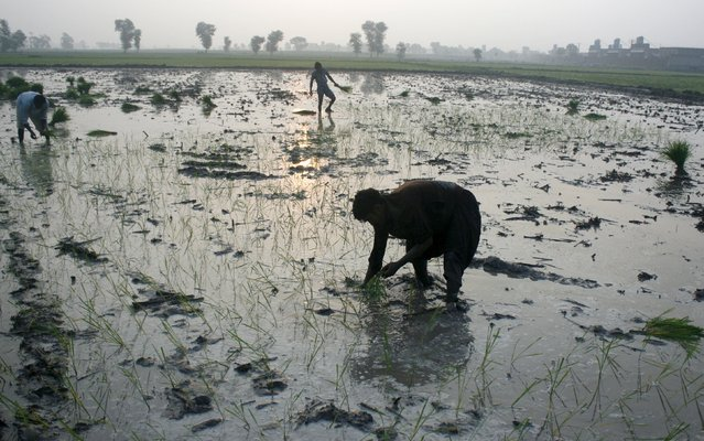 Workers plant rice seedlings in a flooded paddy field outside Faisalabad, Pakistan, July 23, 2015. (Photo by Fayyaz Hussain/Reuters)