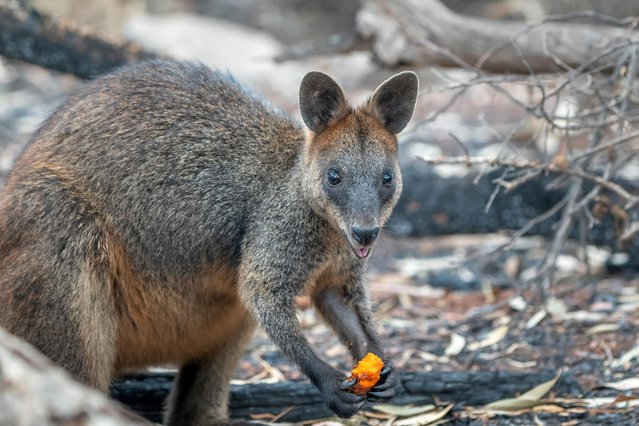 A wallaby eats after NSW's National Parks and Wildlife Service staff air-dropped carrots and sweet potatoes in bushfire-stricken areas around Wollemi and Yengo National Parks, New South Wales, Australia on January 11, 2020. (Photo by NSW DPIE Environment, Energy and Science/Handout via Reuters)