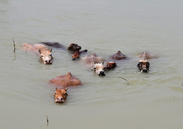 Cows wade through the flood waters at Mayong village in the northeastern Indian state of Assam August 20, 2014. The latest heavy rains have caused landslides and floods in many parts of India and Nepal, where at least 90 people have been killed since Thursday. (Photo by Reuters/Stringer)