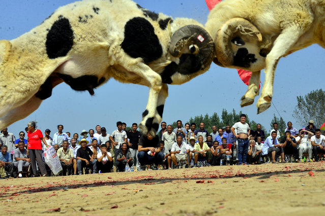 Two sheep fight as people watch during a local sheep-fighting event in a village in Liaocheng, Shandong province, China September 12, 2017. (Photo by Reuters/China Stringer Network)