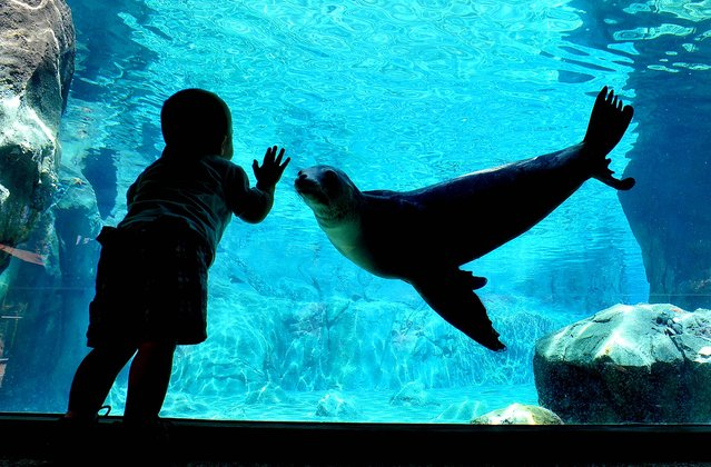 "1-year-old Sully Scott meets curious sea lion ""Avila"" at Fresno Chaffee Zoo's newest exhibit,  Sea Lion Cove, on August 25, 2012. (Photo by John Walker/The Fresno Bee)"