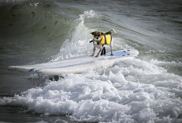 Maui, a 1.5-year-old Chihuahua mix belonging to Sophia Nylen of Jupiter, competes in the second heat of the small dogs division at the Hang 20 Surf Dog Classic at Carlin Park in Jupiter Saturday, August 29, 2015. (Photo by Bruce R. Bennett/The Palm Beach Post)