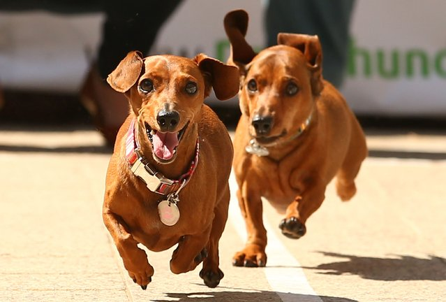 Mini dachshunds run as they compete in the Hophaus Southgate Inaugural Dachshund Running of the Wieners Race on September 19, 2015 in Melbourne, Australia. (Photo by Scott Barbour/Getty Images)