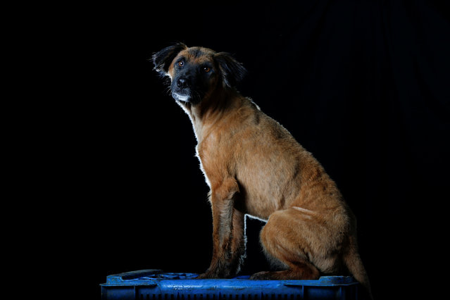 "Minnie is pictured at the Famproa dogs shelter in Los Teques, Venezuela August 16, 2016. Minnie gets her name from Minnie Mouse. ""She is not very loving but is one of the leaders in the shelter. She always bites people's feet when they walk by her"",said Maria Silva who takes care of dogs at the shelter. (Photo by Carlos Garcia Rawlins/Reuters)"