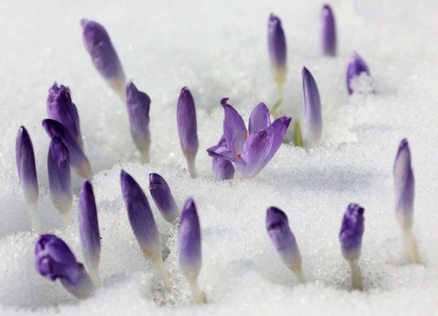 Crocuses peek through snow at the Zoo in Berlin, on March 17, 2013. (Photo by Stephanie Pilick/Dpa)