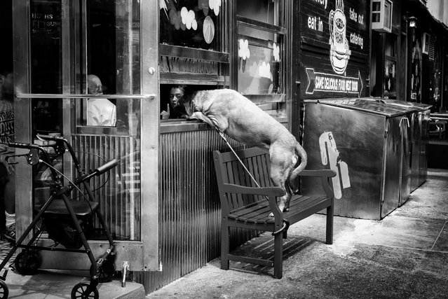 """Dog at cafe window in Lower Manhattan. By John White, winner: urban. Described by judges as a mixture of """"gritty black and white, and slapstick comedy. John's shot has all the hallmarks of classic reportage"""". (Photo by John White/UK National Geographic Traveller Photography Competition 2018)"""