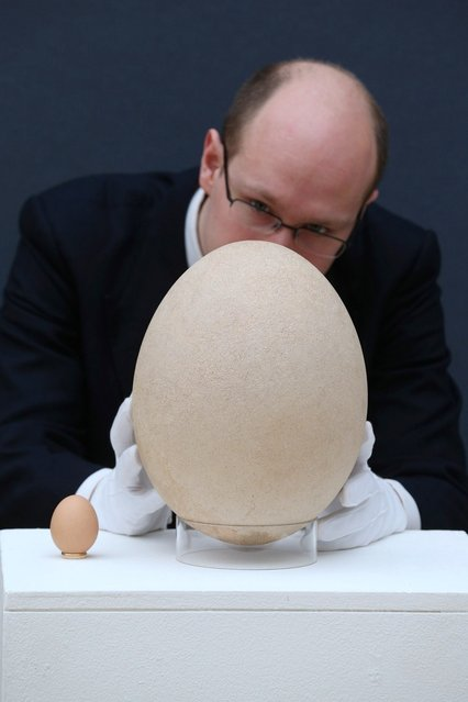 """James Hyslop, a Scientific Specialist at Christie's auction house examines a complete sub-fossilised elephant bird egg, next to a chicken's egg, on March 27, 2013 in London, England. The elephant bird egg is expected to fetch 30,000 GBP when it features in Christie's """"Travel, Science and Natural History"""" sale, which is to be held on April 24, 2013 in London.  (Photo by Oli Scarff)"""