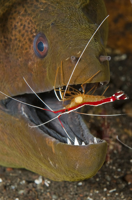 A scarlet cleaner shrimp providing its cleaning services to a yellow-edged moray eel (aka yellowmargin moray) in an Indonesian reef community. Cleaner species help rid their hosts of ectoparasites, dead tissue, bacteria and fungi. Studies have shown cleaning to play a vital role in keeping many reef ecosystems healthy. (Photo by Marty Snyderman/Caters News Agency)