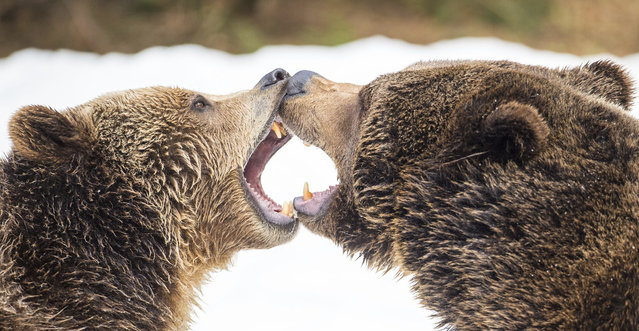 Two brown bears fight in the animal ground Neuschoenau and open up their mouths on March 24, 2018 in Neuschönau, Germany. (Photo by Lino Mirgeler/AP Photo)