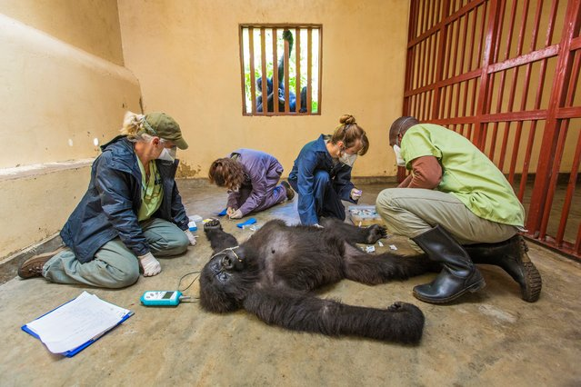 Gorilla care by Marcus Westberg. Finalist, Photojournalism award: single image. Ndeze, a nine-year-old orphan mountain gorilla, watches with concern as veterinarians check the health of her female companion, 12-year-old Maisha, in the Senkwekwe centre at Virunga national park, in the Democratic Republic of the Congo. (Photo by Marcus Westberg/Wildlife Photographer of the Year 2015)
