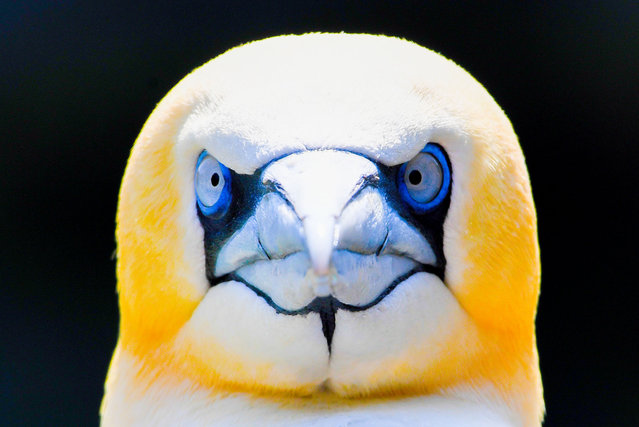 A gannet looks on in his enclosure at the Zoo in Bremerhaven, nothern Germany, on June 7, 2018. (Photo by Patrik Stollarz/AFP Photo)