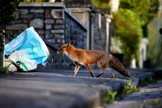 Urban Fox Project by Photographer Ian Wade