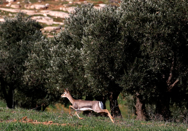 A deer runs past olive trees in a field on the outskirts of the occupied West Bank town of Hebron on February 10, 2021. (Photo by Hazem Bader/AFP Photo)